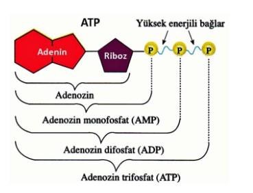 enerji metabolizması