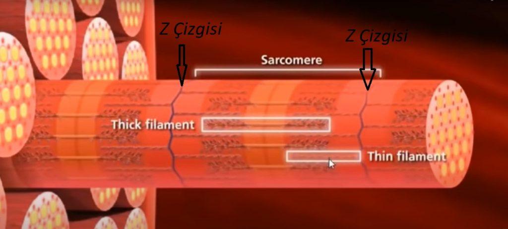 sarkomer